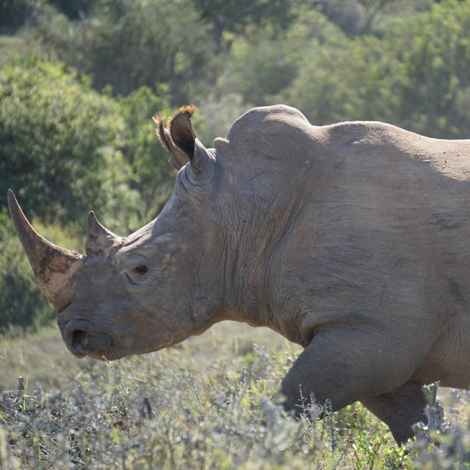Rhino photographed on Kwandwe Game Reserve, South Africa