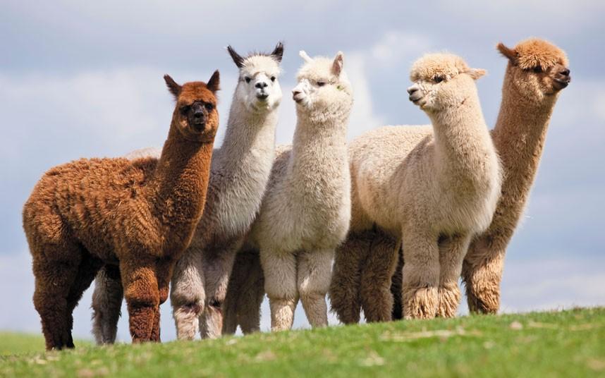 Image result for alpaca'