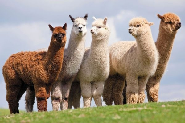 Herd-of-alpaca-e1479406231667.jpg